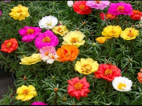 How To Portulaca Plant How To Grow Moss Rose Common Annual Flowers Portulaca Urdu Hindi Ground Cover Plants Ground Cover Flowers Heat Tolerant Flowers