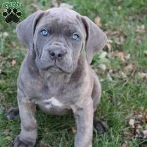 Cane Corso Puppies For Sale Cane Corso Dog Breed Info Cane Corso Puppies Cane Corso Puppies For Sale