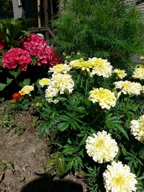 My front garden gets a lot of sun, so I chose inexpensive sun-loving flowers that easily creat a big splash. I like these pale yellow marigolds that are a medium size, interspersed with the smaller orange marigolds and a big pot of red geraniums as well as the pinkish hydrangia. That ferny plant is a cosmos waiting to bloom. www.christinelindsay.com