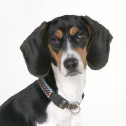 Bella Is An Adoptable Beagle Dog In Edgerton Wi Hello My Name
