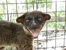 Small Toothed Palm Civet Arctogalidia Trivirgata 2 Also Known