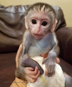 Pocket Monkey We Are Located In Davie Florida In South Flo Baby Monkey Pet Pet Monkey Pet Monkey For Sale