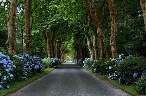 Gorgeous hydrangea & tree lined driveway.
