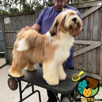 Tibetan Terrier Dog Breed Information Uk Pets Tibetan Terrier Terrier Terrier Dog Breeds