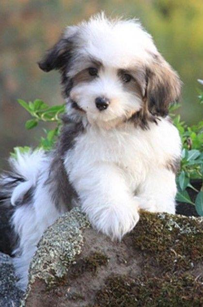 Pin Von Cats Are So Cool Auf 4 Delightful Dogs Pups Hypoallergene Hunderasse Hypoallergene Hunde Niedliche Hunde