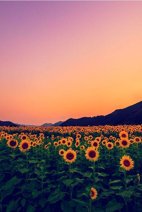 sunflower field, Yoshiki Fujiwara