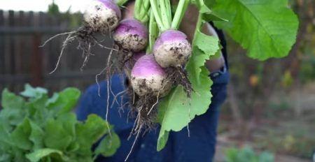 فوائد اللفت Vegetables Eggplant