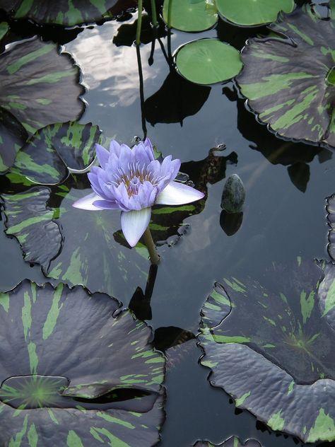 Free Image on Pixabay - Water Lily, Zen, Meditation, Pond