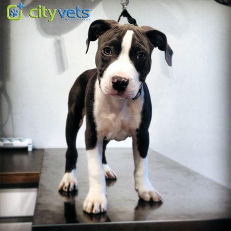 Babyboy Amstaf Pitbull Visited Us Today 4 His Secondary Checkup