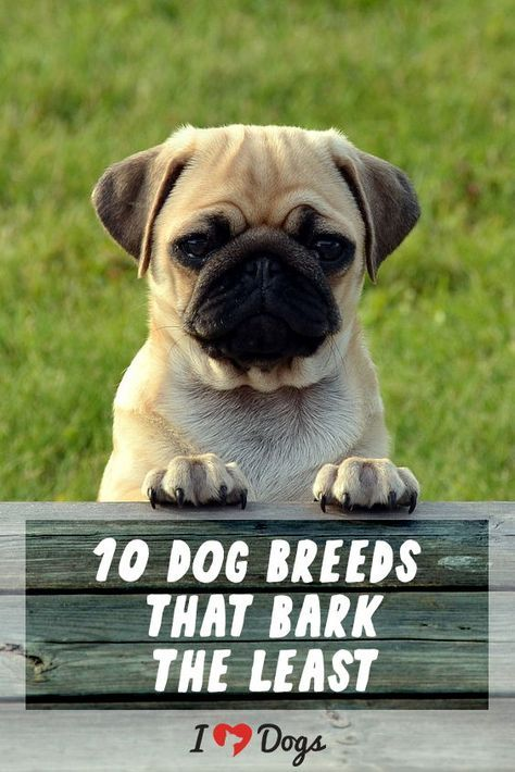 10 Dog Breeds That Bark Least Dogs Dog Breeds Dog Friends