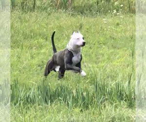 Pin On American Pitbull Terrier