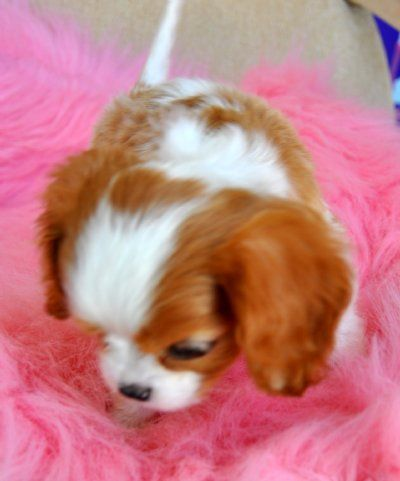 Tiny King Charles Spaniel Puppy Sold Moving To Panama City In 2020 With Images King Charles Spaniel King