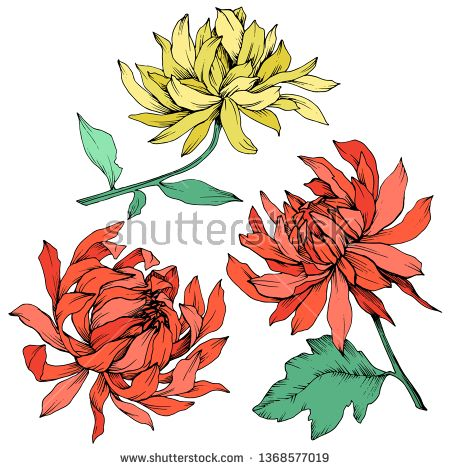 Stock Vector Vector Red And Yellow Chrysanthemum Floral Botanical Flowers Wild Spring Leaf Wildflower Yellow Chrysanthemum Floral Botanical Botanical Flowers