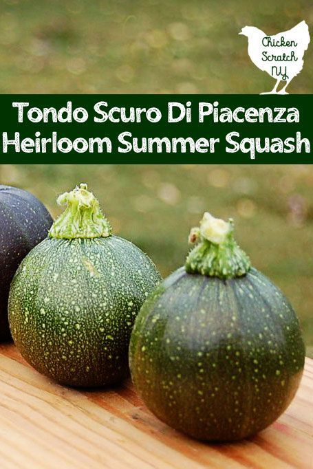 Grow Tondo Scuro Di Piacenza Summer Squash to add some heirloom vegetable charm to your garden this year! The original eight ball summer squash they can be grown anywhere zucchini thrives #vegetablegarden #growvegetables #zucchini #heirloomvegetables