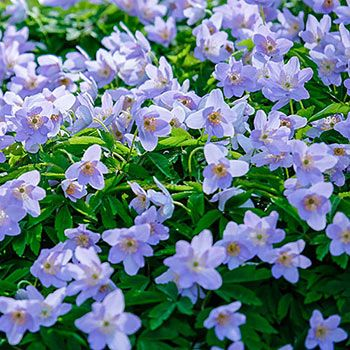 Robinsoniana Wood Anemone Flower Garden Plans Partial Shade Flowers Wood Anemone