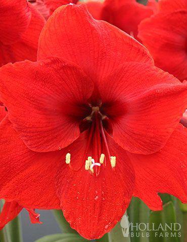 Red Lion Amaryllis Amaryllis Amaryllis Bulbs Flowers