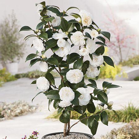 3ft Camellia Purity 7l Pot Camellia Japonica 39 99 Camellia Plant Small Ornamental Trees Camellia Tree