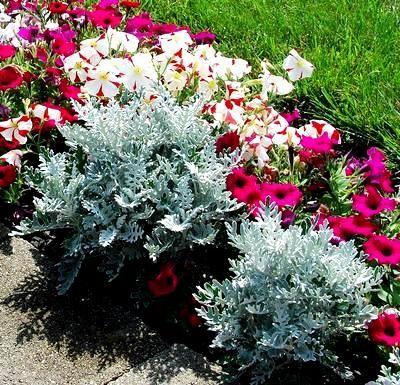 Starzec Popielaty Mrozy Sklep Swiat Kwiatow Dostawa Gratis Annual Plants Plants Ornamental Plants