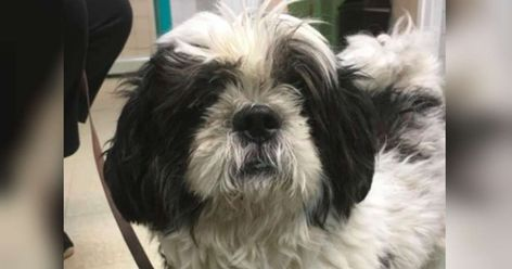Senior Dog Was Returned To Shelter Because He Couldn T Go Up Stairs Dogs Shih Tzu Dog Shih Tzu Rescue