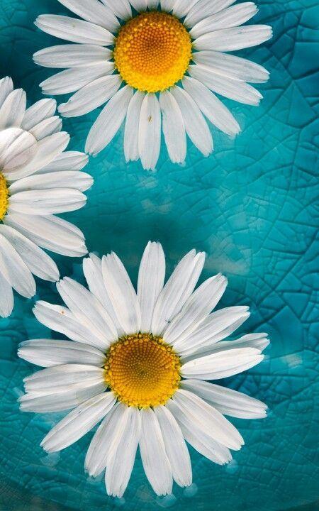 Daisies On A Turquoise Background Fonovye Izobrazheniya Romashki Pejzazhi Coolest flower turquoise wallpapers