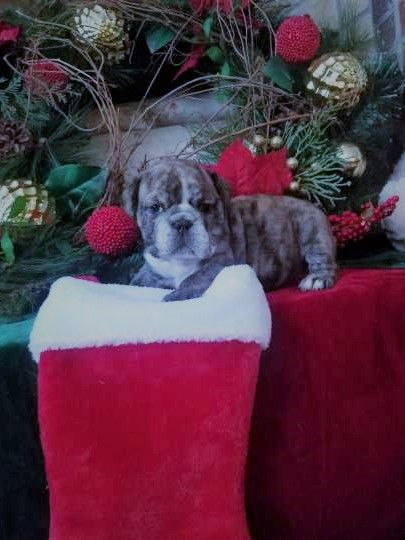Litter Of 2 English Bulldog Puppies For Sale In Castalia Nc Adn
