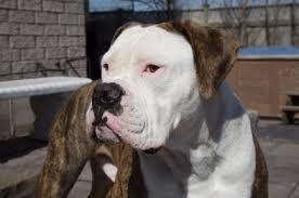 Image Result For American Bulldog Great Dane Mix American