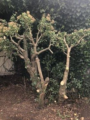Overpruned Outdoor Jade Plant Jade Plants Plants Mother Plant