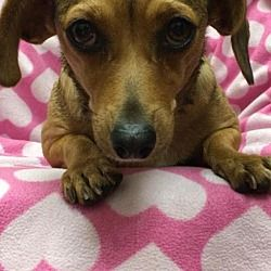 Available Pets At Dachshund Rescue South Florida In Weston Florida Dachshund Adoption Pet Adoption Dog Adoption