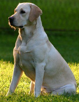 Labrador Retrievers What S Good About Em What S Bad About Em In 2020 Labrador Retriever Labrador Retriever Dog Labrador Retriever Puppies