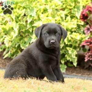 Black Labrador Retriever Puppy In Christiana Pa Labrador Retriever Labrador Retriever Puppies Black Labrador Retriever
