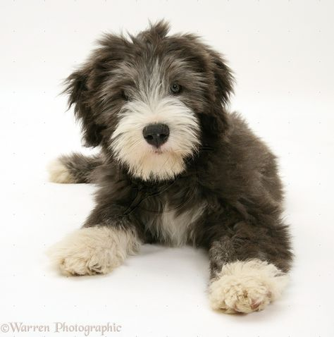 Blue Bearded Collie Pup Misty 3 Months Old Http X2f X2f Www