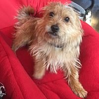 Pin By Hexie On Adoptable Pets Cairn Terrier Dog Adoption