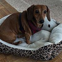 Pin By The Next Sausage Crew On Adopt Me Dachshund Pet Adoption