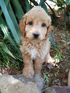 10lb Trained Red Golden Doodle Dogs Puppies For Rehoming