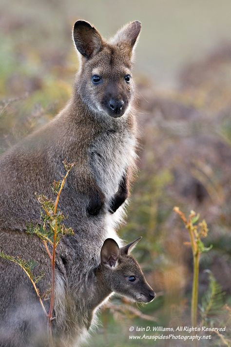 Red-necked Wallaby (Macropus rufogriseus) - Tasmania by Anaspides Photography - Iain D. Williams on