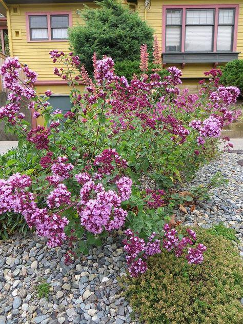 Origanum u0027Rosenkuppelu0027, 20 Jul 2013 My Garden - Parking Strip 10 - gartenbepflanzung am hang
