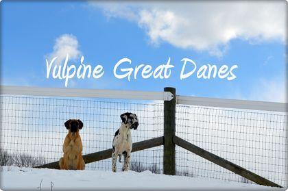 Vulpine Great Danes Past Puppies Harlequin Great Danes