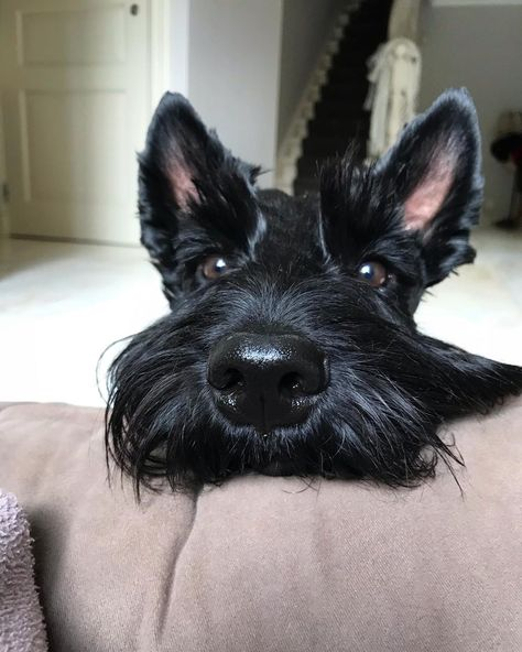14 Astonishing Facts About Scottish Terriers & PetPress Source by kristinaodyag The post 14 Astonishing Facts About Scottish Terriers Perro Fox Terrier, Wire Fox Terrier, Baby Dogs, Dogs And Puppies, Doggies, Tatuaje Bull Terrier, Scottish Terrier Puppy, Dalmatian Dogs, Cute Dogs Breeds