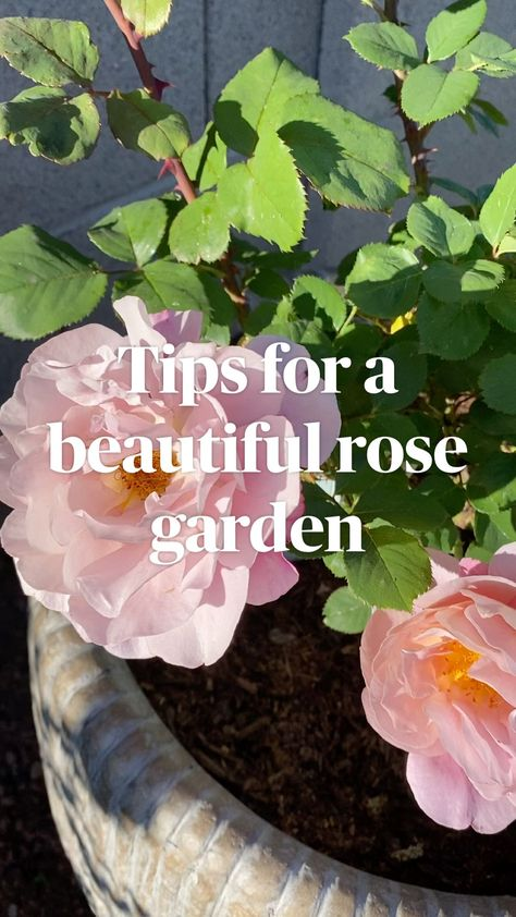 Cool Tips for a beautiful rose garden