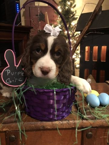 English Springer Spaniel Puppy For Sale In Alliance Oh Adn 67131 On Puppyfinder Com Spaniel Puppies For Sale English Springer Spaniel Puppy Puppies For Sale