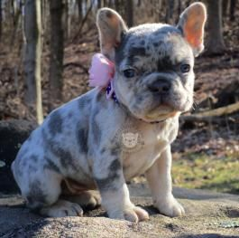 Frenchie Frenchbulldog Frenchbulldogpuppy Frnechbulldogpuppies