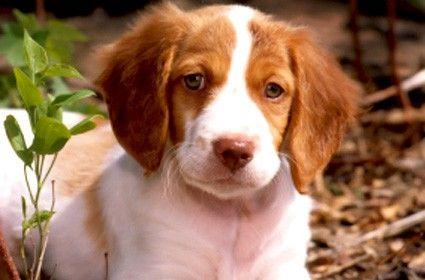 brttiany spaniel puppy