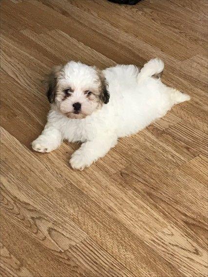 Shihpoo Puppy Shih Poo Puppies Cute Animals