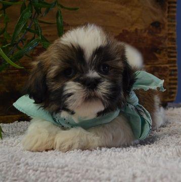 Lhasa Apso Puppy For Sale In Tucson Az Adn 71541 On Puppyfinder