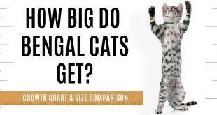 How Big Will A Full Grown Bengal Cat Be Bengal Cat Bengal Cat