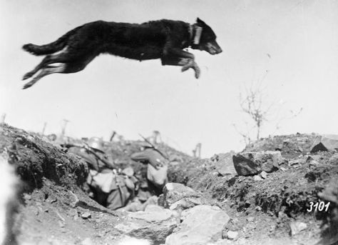 A German messenger dog leaps a trench, possibly near Sedan on the Western Front, May 1917. Two soldiers are just visible in the trench behind and beneath the dog. German First World War Official Exchange Collection, IWM.