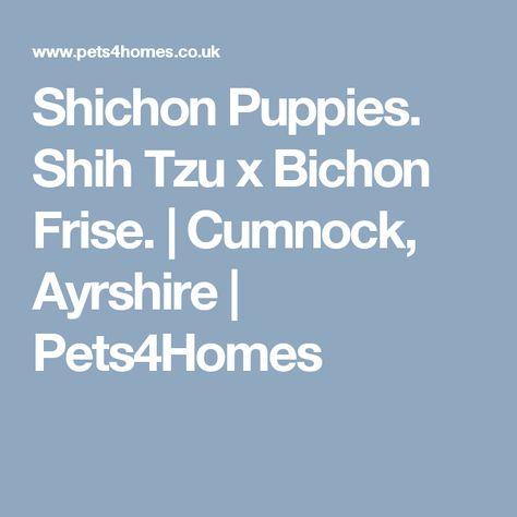 Shichon Puppies Shih Tzu X Bichon Frise Bichon Frise Shih Tzu