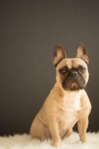 Bulldog Bulldog Puppies Bulldog Frenchie Bulldog American