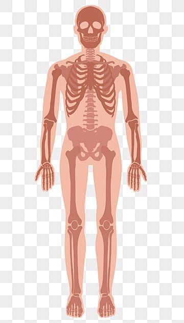Ilustracion Esqueleto Humano Clipart Humano Cuerpo Humano Diagrama Esqueleto Png Y Vector Para Descargar Gratis Pngtree In 2021 Human Skeleton Human Clipart Skeleton Illustration