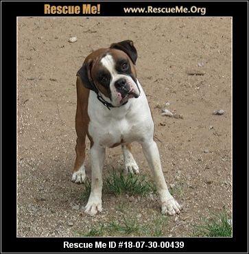 Michigan Boxer Rescue Adoptions Rescue Me Boxer Rescue Boxer Dogs Post Animal